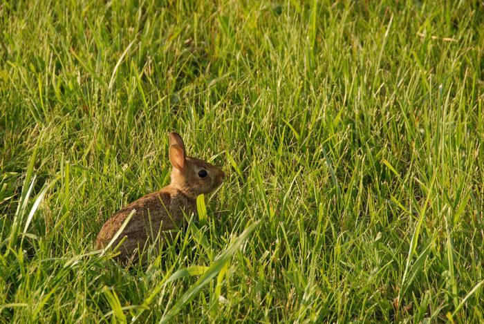 grass, rabbit