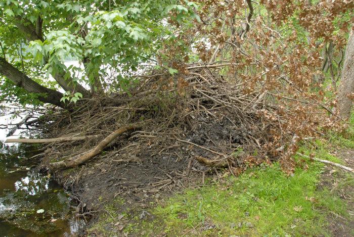 beaver den, grass, ground cover, lake, stream, trees, water, woods