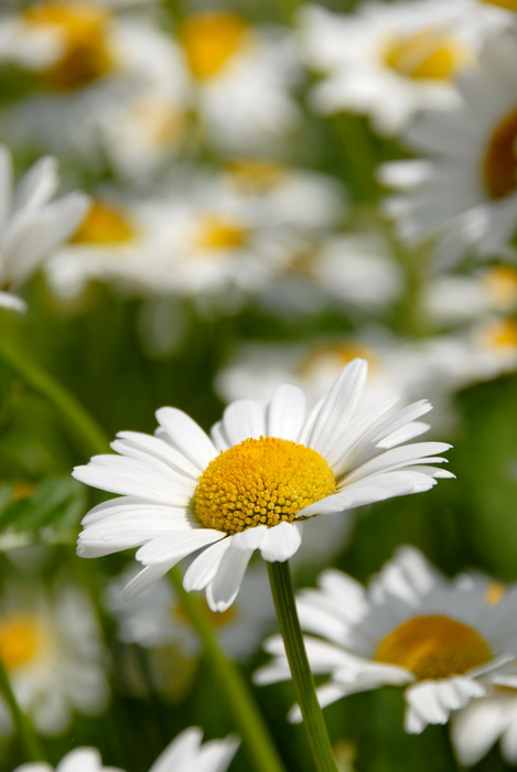 blurry, daisy, flowers, garden