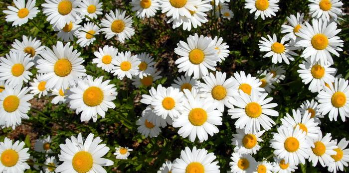 daisy, flowers, garden