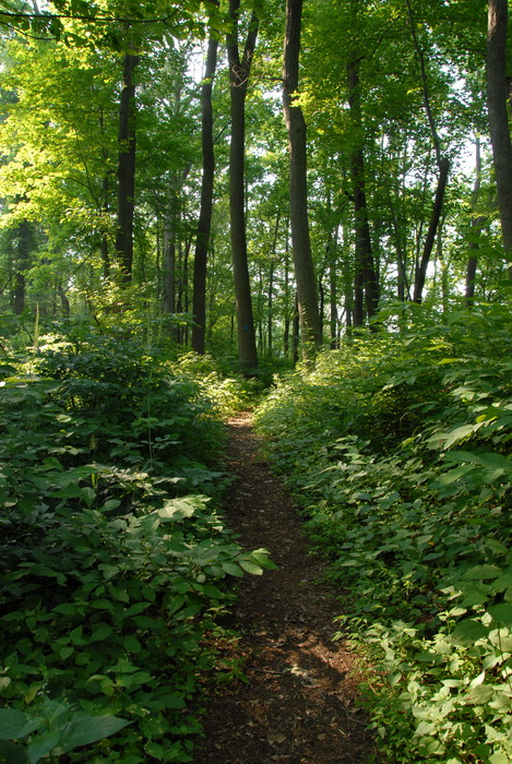 path, trail, ground cover, woods, trees