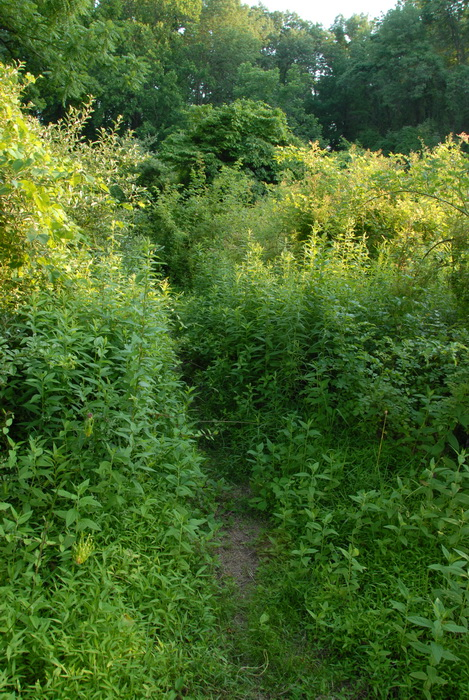 grown up weeds, path, trail