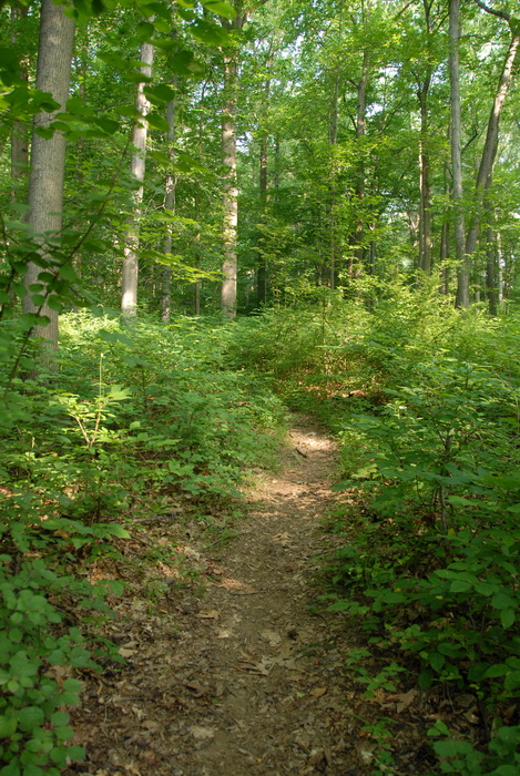 dirt path, dirt trail, path, trail, trees, woods, ground cover