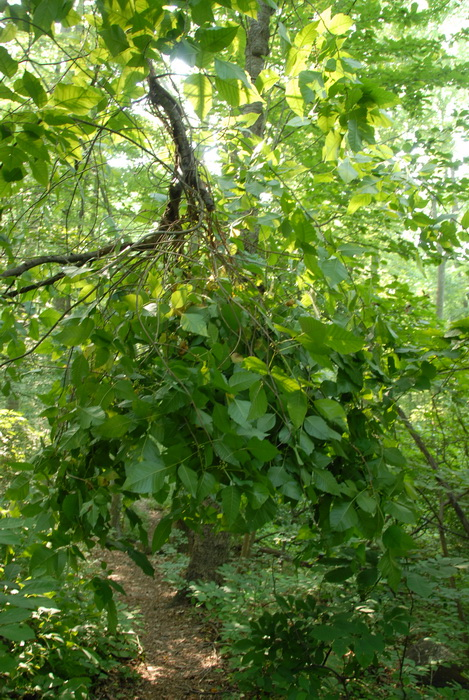 ground cover, vines, poison ivy