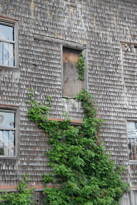 ivy, leaves, old barn, shingles, windows