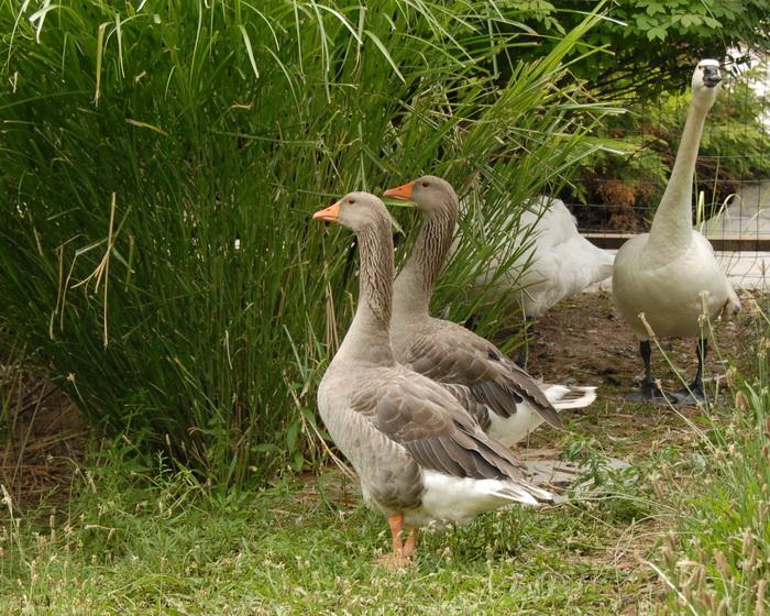 birds, dgeese, grass
