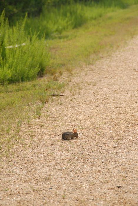 bunny, bushes, gravel road, overgrown, rabbit, overtaken by nature center