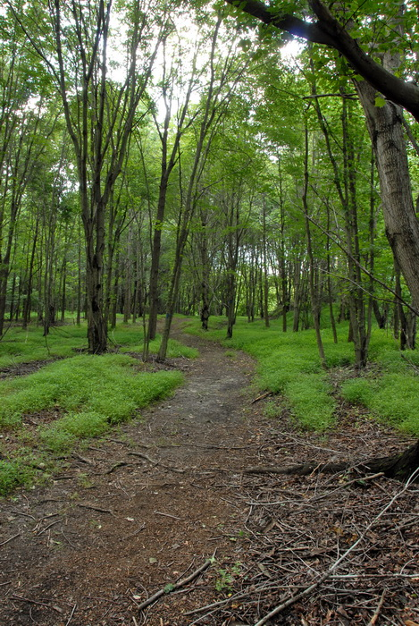 branches, grass, ground cover, moss, trail, trees, woods