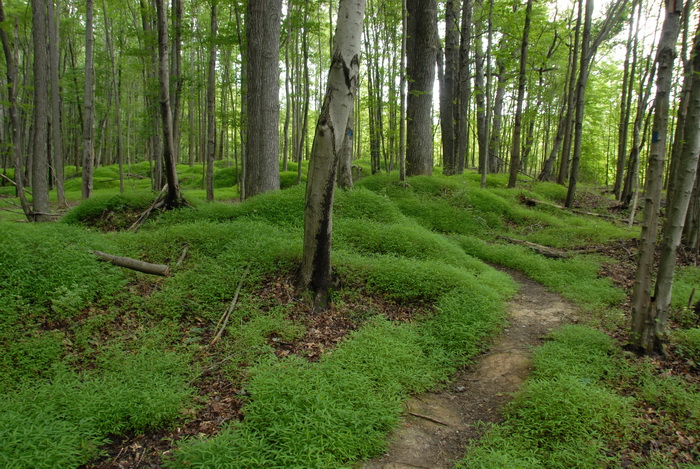 ground cover, hills, moss, mounds, trail, trees, woods