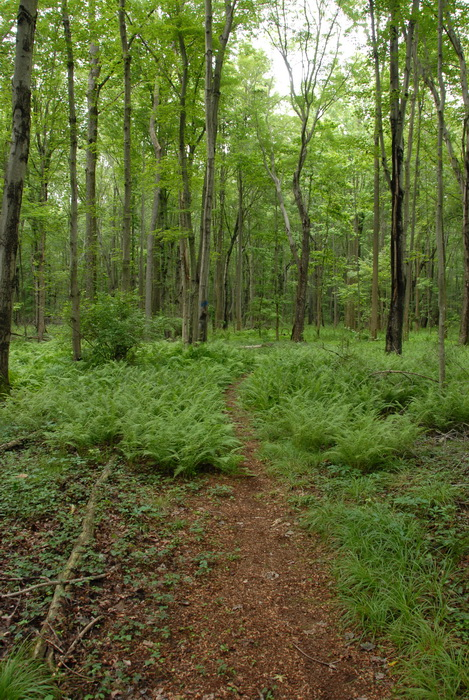 ferns, ground cover, trail, trees, woods
