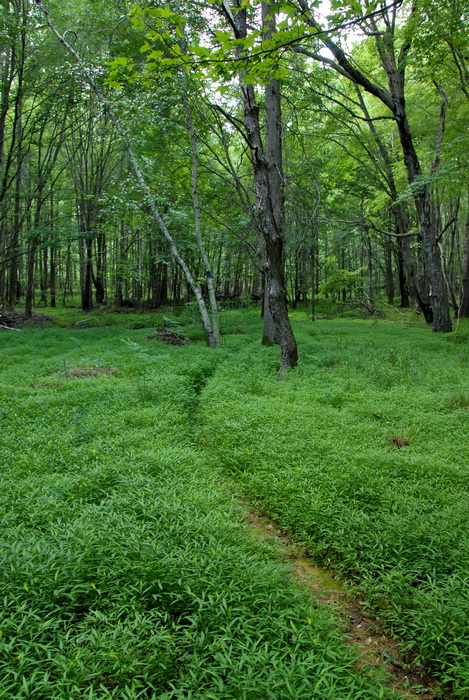 ground cover, trail, trees, woods