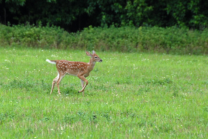bad shot, grass, plants, trees, deer, field