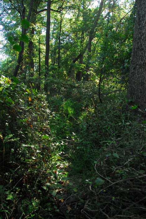 leaves, trees, woods, undergrowth