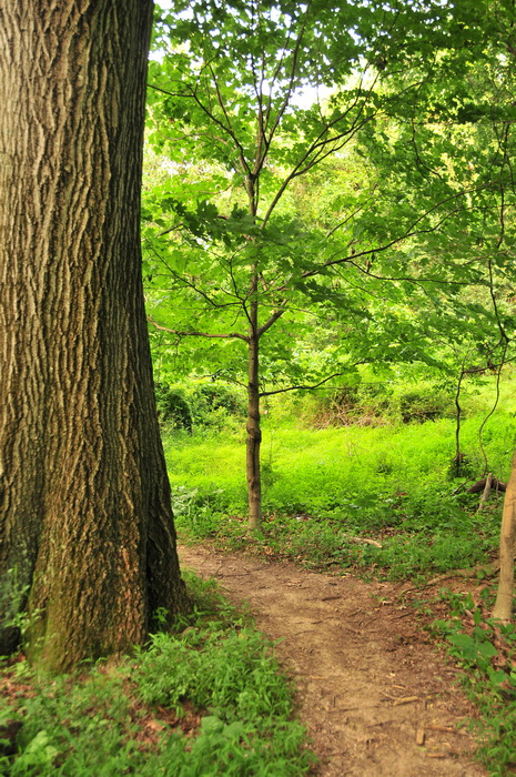 Core Creek Park - PA, big tree, dirt, green, ground cover, path, trail, trees