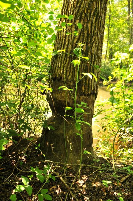 pricker, beaver damage, tree