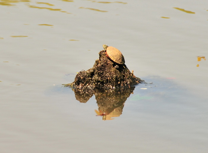 water, stump, turtle