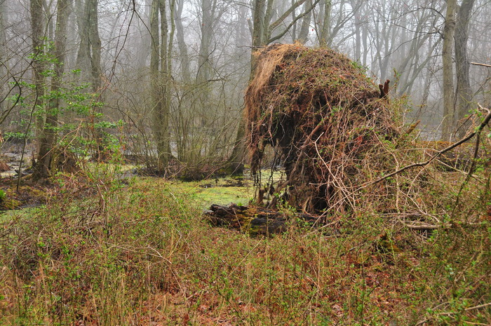 bushes, fallen tree, fog, ground cover, marsh, swamp, tree roots, trees, Mercer County Park, JORBA Trail Day, March 2012